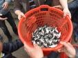 Hơn 5 tấn cá được phóng sinh xuống sông Hồng