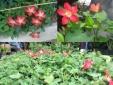 Kỹ thuật trồng cây Sâm Bố Chính- dược liệu cực tốt cho mọi nhà