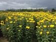 Khánh Hòa: Thương mại hóa sản phẩm hoa cúc Ninh Giang