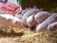 Loạt bệnh khủng khiếp từ lợn có thể lây sang người gây tử vong
