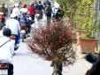 Người trồng đào Nhật Tân thấp thỏm lo đào nở sớm do thời tiết
