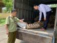 Lạng Sơn: Tóm xe ô tô vận chuyển 'chui' 20 con lợn giống không có giấy kiểm dịch động vật