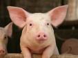 Giá lợn hơi tăng, nguy cơ dịp Tết thiếu thịt?