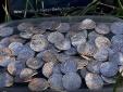 Cặp vợ chồng 'trúng số độc đắc' khi đào được kho báu 2.600 đồng tiền cổ, giá 150 tỷ