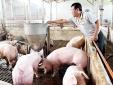 Cần bình ổn giá thịt lợn từ nay đến Tết Nguyên đán