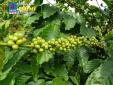 Phân bón Phú Mỹ mang lại vụ mùa bội thu cho cà phê Tây Nguyên