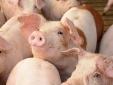 Giá lợn hơi sắp chạm ngưỡng 80.000 đồng một kg