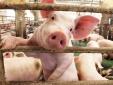 Giá lợn hơi cao nhất đã chạm ngưỡng 79.000 đồng một kg