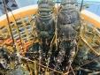 Sự thật về giá tôm hùm chỉ 200.000 đồng/kg ở Phú Yên