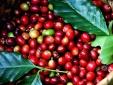 Giá nông sản hôm nay 30/3: Cà phê tiếp tục giảm sâu