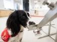 Anh: Huấn luyện chó nghiệp vụ phát hiện người có dấu hiệu nhiễm Covid-19