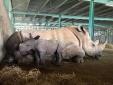 Vinpearl Safari chào đón cá thể tê giác thứ 3 chào đời