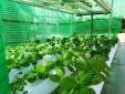 Phát triển chuỗi rau sạch: Chứng minh sự bền vững sau dịch