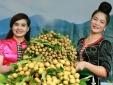 Khoảng 2.600 tấn nhãn Sơn La đảm bảo tiêu chuẩn sẽ được xuất khẩu