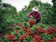 Chuyên gia Nhật giám sát chặt chẽ chất lượng vải thiều xuất khẩu của Việt Nam