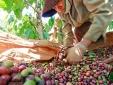 Doanh nghiệp xuất khẩu cà phê vào Algeria phải lưu ý điều gì?