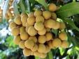 Sau khi cập bến Australia nhãn Việt được bán với giá gần 200.000 đồng/kg