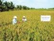 Chính thức cấp chứng nhận đăng ký nhãn hiệu 'Lúa sinh thái Cà Mau'