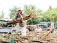 Cần 'sân chơi' công bằng cho ngành mía đường trong nước
