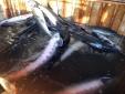 Hành vi tiếp tay cho gian lận trong nhập khẩu cá tầm sẽ bị xử lý nặng