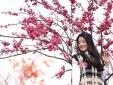 Sun World Fansipan Legend: Anh đào Nhật Bản nở rộ, đẹp như chốn Phù Tang