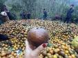 Nguồn gốc thực sự của 'cam sành Hà Giang' giá rẻ chỉ 6 nghìn đồng/kg đang bán đầy chợ