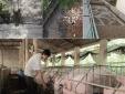 Xử lý nước thải chăn nuôi không đáp ứng quy chuẩn kỹ thuật bị xử phạt thế nào?