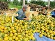 Một buổi Livestream 'giải cứu' bán 72 tấn cam bóc Phủ Quỳ