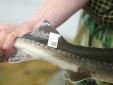 Tỉnh Lào Cai gắn tem truy xuất nguồn gốc cá hồi, cá tầm