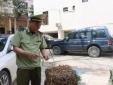 Dùng biển số xe ô tô giả để vận chuyển lậu rễ cây cam thảo đã có dấu hiệu mốc xanh