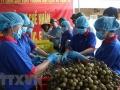 Lô hàng nhãn lồng Hưng Yên đạt chuẩn đầu tiên sắp xuất sang Australia, Singapore