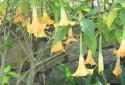 Dùng hoa chuông trị mất ngủ suýt đánh 'giấc thiên thu'