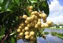 Kỹ thuật trồng cây nhãn cho quả sai, cùi dày, vị ngọt