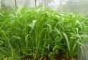 Kỹ thuật trồng rau muống cạn xanh non, an toàn tại nhà