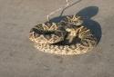 Những trường hợp thê thảm vì cố chụp ảnh tự sướng với rắn