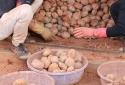 Chiêu 'tân trang' khoai tây kém chất lượng