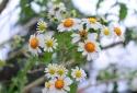 Đà Lạt lần đầu tiên có hoa dã quỳ trắng