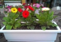 Học cách trồng hoa đồng tiền nở đẹp mĩ miều đúng dịp Tết
