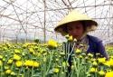 Đèn LED hỗ trợ tăng năng suất hoa cúc cắt cành tại Đà Lạt
