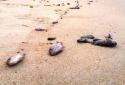 Bộ KH&CN lập đoàn chuyên gia độc lập tìm nguyên nhân cá chết
