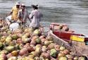 Giá cả thị trường 29/9/2016: Trung Quốc ồ ạt mua đẩy giá dừa cao ngất