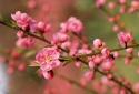 Kỹ thuật trồng và chăm sóc hoa đào nở đúng dịp Tết Nguyên đán