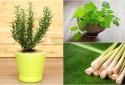 7 loại cây trồng trong nhà chống muỗi rất tốt cho gia đình bạn