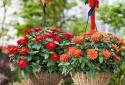 Kỹ thuật trồng hoa cúc nở rực rỡ trong chậu cảnh trưng bày ngày tết