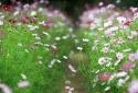 Kỹ thuật trồng hoa cánh bướm đơn giản cho vườn xinh đón Tết