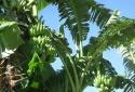 Những lợi ích đáng kinh ngạc của thân cây chuối
