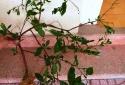 Nghi ăn 'sâm lạ' đào trong vườn nhà, người phụ nữ phải nhập viện