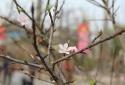 Đào rừng có giống từ 'Lào' xuống chợ hoa Tết, giá hàng chục triệu đồng