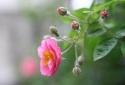 Kỹ thuật trồng cây hoa tầm xuân cho ban công rực rỡ sắc hồng