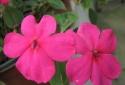 Kỹ thuật trồng cây và chăm sóc hoa ngọc thảo cho ban công rực rỡ màu hoa